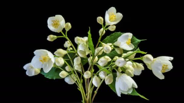 Časová prodleva bílých jasmínových květů, kvete na černém pozadí
