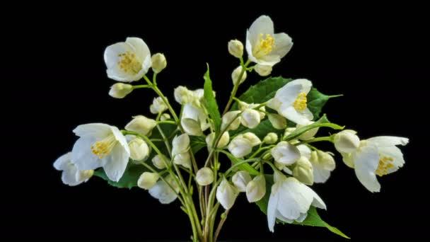 Časová prodleva bílých jasmínových květů, kvete na černém pozadí, alfa kanál