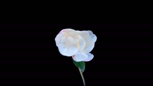 Zeitraffer von rosa Pfingstrose Blume blüht auf schwarzem Hintergrund