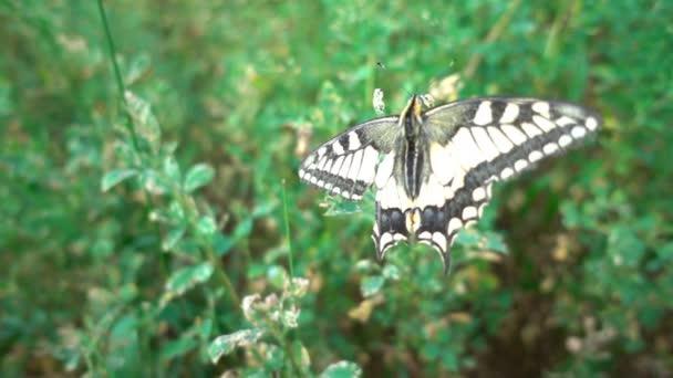 Schmetterling Papilio Machaon auf einer blühenden Pflaumenbaum