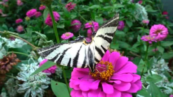 Iphiclides podalirius je motýl z čeledi Papilionidae. pije nektar z květu, zpomalené