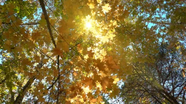 Listnaté lesy v teplé slunečné počasí, sušené listy spadají ze stromů pomalý pohyb