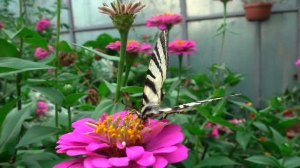 iphiclides podalirius ist ein Schmetterling aus der Familie der Papilionidae. trinkt Nektar aus einer Blume, Zeitlupe