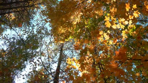 Deciduous forests in warm sunny weather, dried leaves fall from trees slow motion