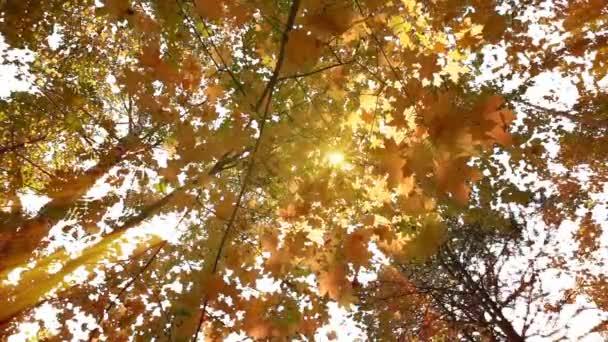 A lombhullató erdők meleg napos idő, szárított levelek lehullanak a fák lassú mozgás