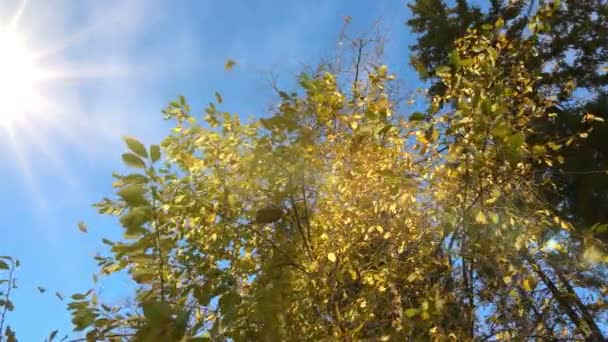 autumn yellowed leaves fall from a tree in sunny weather, slow motion