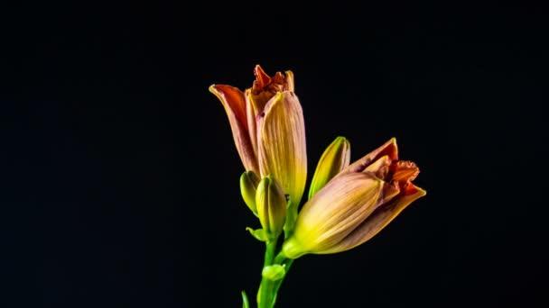 Idő eltelt megnyitásakor rózsaszín liliom