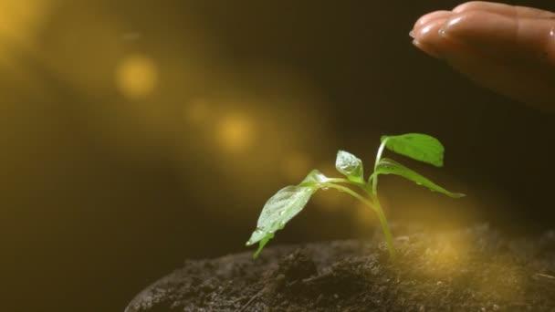 Člověk zalévání továrny, pomalý pohyb, koncept rozvoje zemědělství, ekologie