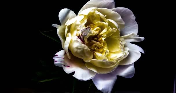 Čas konce kvetoucí bílé Peony