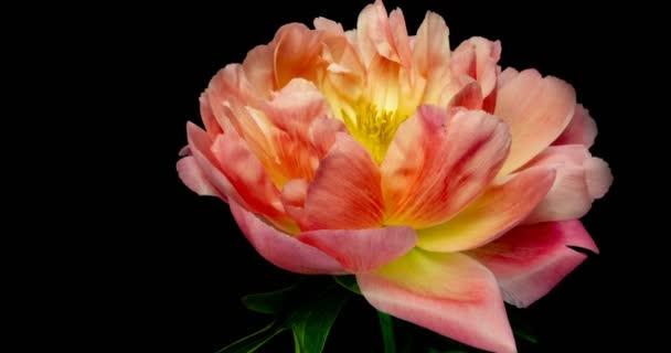 TimeLapse rózsaszín bazsarózsa virág virágzó fekete háttér,