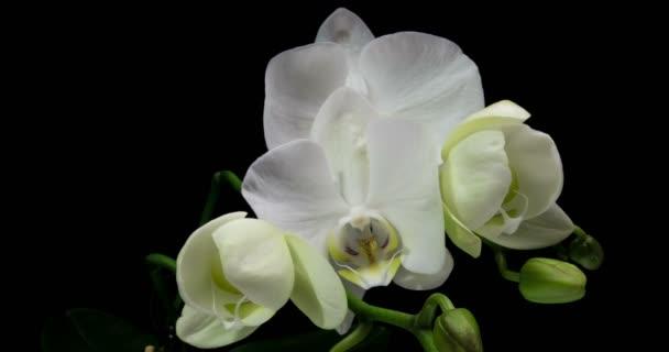 Časosběr z otevírání orchidej 4k na černém pozadí