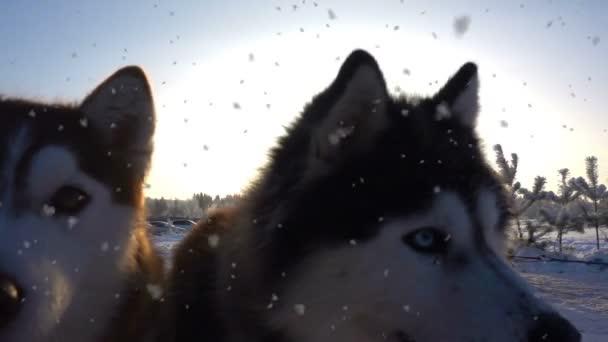 Husky due giovani a stretto contatto, rallentatore