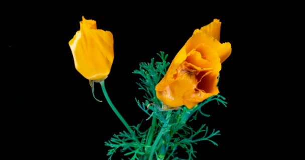 Blooming California Poppy Flowers. Eschscholzia californica. Bright and airy on a black background. Time lapse