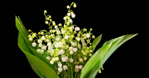 Time lapses shot of the lily of the valley on a black background.