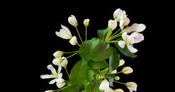 Bílé květy Květy na větvích jabloně. Tmavé pozadí. Včas.4K.