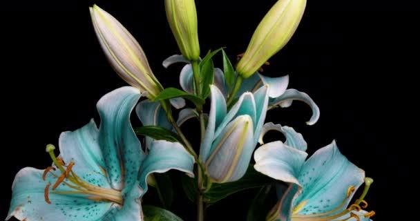 Čas-lapse záběr na rozkládající se modrá lilie květ izolované na černém pozadí