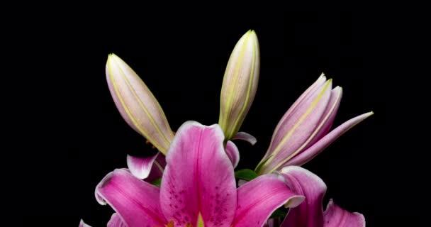 Time lapse virágzó gyönyörű rózsaszín liliom fekete háttér videó 4k