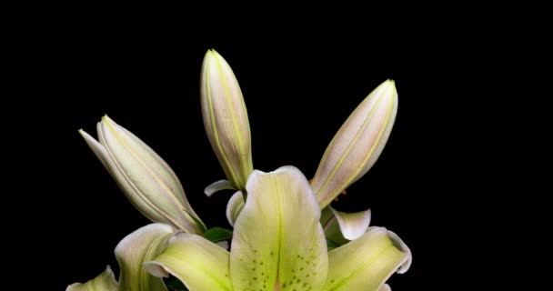 Yellow lilies bloom on a black background, time lapse, beautiful flowers