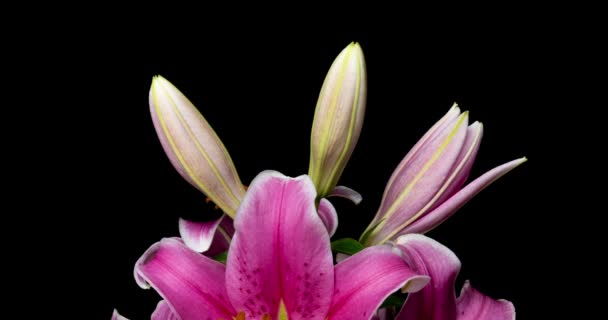 Time lapse of blooming beautiful pink lilies on black background video 4k