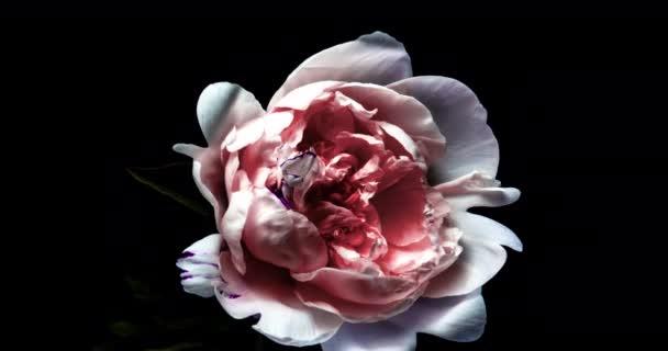 Růžový pivoňka Pokuste se otevřít velký květ v čase lapse na černém pozadí. Paeonia Sarah Bernhardt Blooming and Wilting