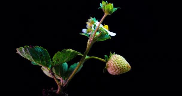 jahodový keř zraje v časovém skluzu na černém pozadí, zrající remontant jahody