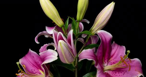 Čas vypršení květu krásné růžové lilie na černém pozadí videa 4k