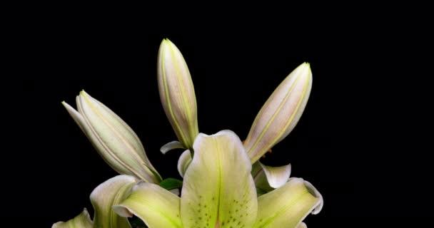 Žluté lilie kvést na černém pozadí, časový odstup, krásné květiny