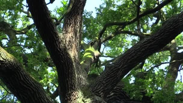 Památný strom s názvem král dub, dub letní Quercus robur, 500 let staré, legenda říká, že český král Václav Iii tu přespali a rozhodl, že strom bude chránit, Evropa