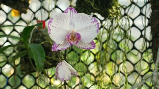 Bílá můra orchidej Phalaenopsis růžové nebo Phal, rod Phalaenopsis kvetou rostliny květ, vzniku mnoha umělých kříženců, převážně epifytické, přirozeně Asie, pěstuje ve skleníku