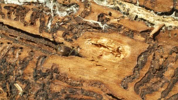 Kůrovec hmyzová, smrk a lýkových, zamořený a napaden Evropským Smrkem, který se nachází v dřevěné larvě a larvae, čirý katastrofál globální oteplování, rozpaluje detail