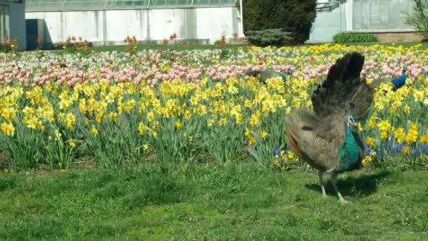 Páví Pavo cristatus a indiánský modrý samec se samečkem a perliček a s helmovými Guineji Numida meleagris ptáci ozdobení v parku, s tulipány a peřeje, národní ptačí pták