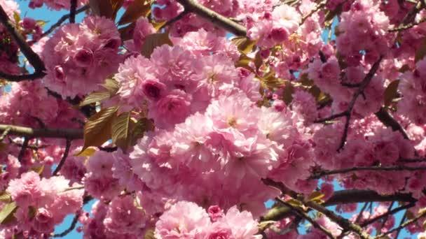 Třešňový třešeň z vrchu, Prunus serrulata. Japonské plody Japonsko se nazývá sakuranbo. Zahradnické zahradnictví, parky nebo uličky. Kvetoucí třešeň východní Asie