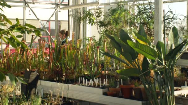 OLOMOUC, CZECH REPUBLIC, NOVEMBER 28, 2018: Tropical greenhouse and a collection of rare endangered and legally protected carnivorous, young woman gardening is watering Sarracenia