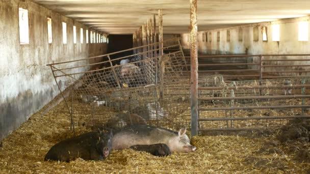 A Sus scrofa domesticus malacok koca és malacának sertés, disznó egy Cote szalma rózsaszín és fekete, tenyésztés bio biogazdaságban, disznóhús tenyésztés sertéshús, falusi vidék, hús állatállomány