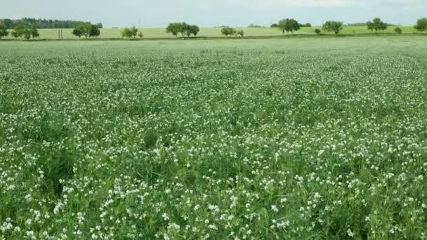 Borsórészlet virágos virág fehér biogazdálkodás borító növény Pisum sativum, zöld trágyázás talajtakarmányozás egyéb növények borsó zöld indák trágya nitrogén, mezőgazdaság borsó takarmány, Morvaország Cseh Köztársaság, Európa