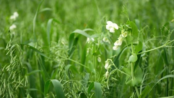 A borsó és a zab részletezi a zöld megtermékenyítés talajtakaró indák talaj táplálkozás a növények zöld trágya gazdálkodás ökológiai, fontos mezőgazdasági termelés, fedezze növénytermesztés mezőgazdaságtan, borsó Pisum sativum