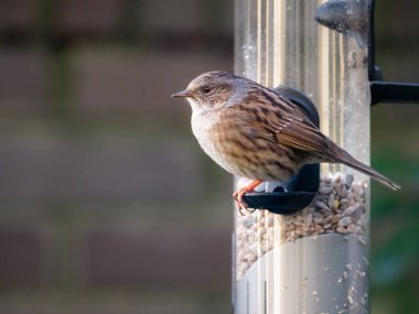 Adult dunnock, Prunella modularis, sitting and looking before eating from tube birdfeeder with seeds