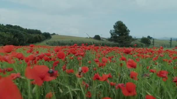 Incredible beautiful poppy flower field