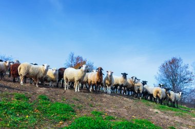 Herd of sheep of breed Suffolk and German merino are grazing on mountain pasture. Carpathians mountains at autumn in western Ukraine. stock vector