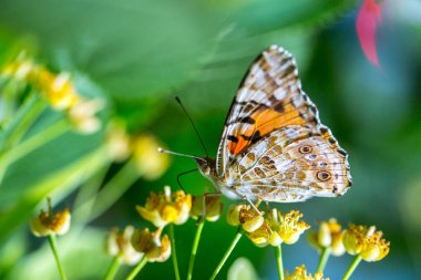 Painted Lady butterfly (Vanessa cardui) feeds on a nectar of flo