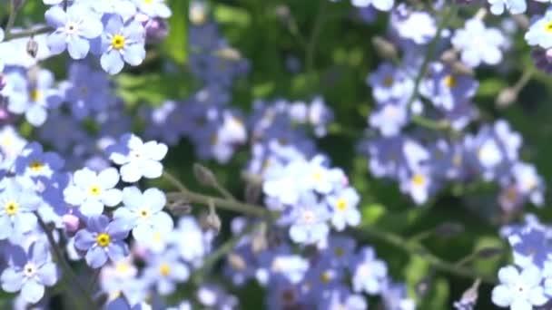 krásný Vzdušný záběr létání nad polem plné modré padělatel mě nejsou květiny v horském údolí na jaře
