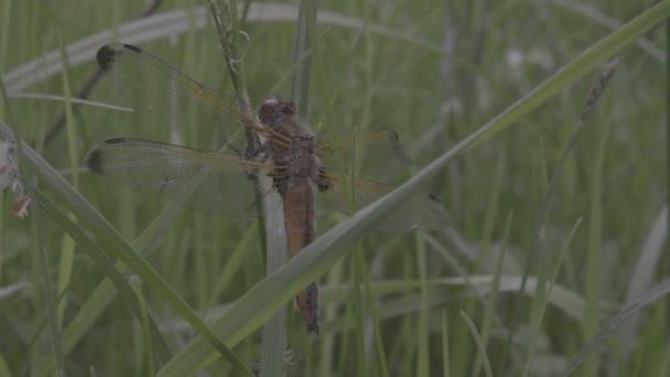 Pihen a zöld fű makró közeli narancssárga szitakötő