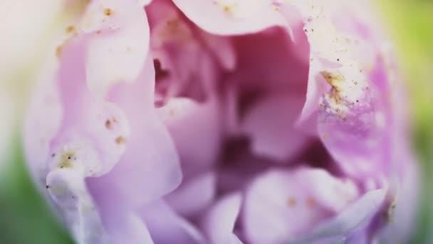 Fialová květinka kvete a otevírá květ. Epický čas zanikne. Nádherná příroda. Futuristický svět