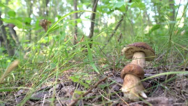 Hřib roste a hledá je člověk, který v lese vybírá houby na podzim