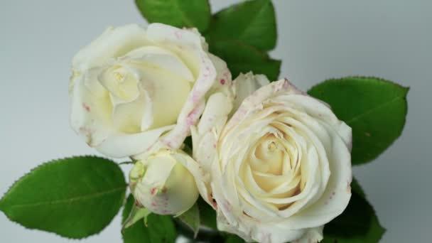 Közelről nyitó csokor Fehér Rózsa, virágzó Fehér Rózsa, gyönyörű természet háttér