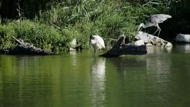4 k záběry z ibis posvátný nošení ven, jeho čištění a šedá volavka při shromažďování pobočky pro hnízdo. Jsme v teplé, Slunečné, ale větrné, ráno srpna