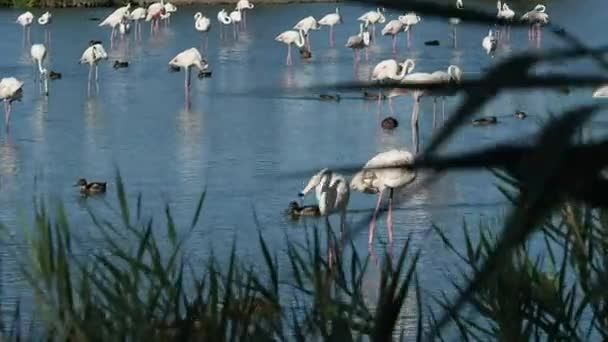 4k footage of pink flamingos warming up in the morning sun. There are many ducks around them. We are in a warm, sunny, but windy, morning of August.