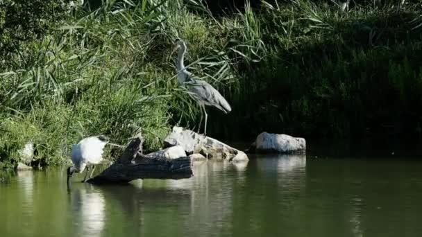 4 k záběry africké ibis posvátný sundala a volavka při shromažďování pobočky pro hnízdo. Jsme v teplé, Slunečné, ale větrné, ráno srpna