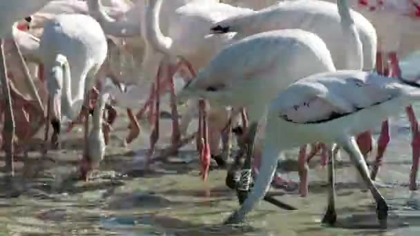 4k footage of pink flamingos warming up in the morning sun. some of them are eating. We are in a warm, sunny, but windy, morning of August.