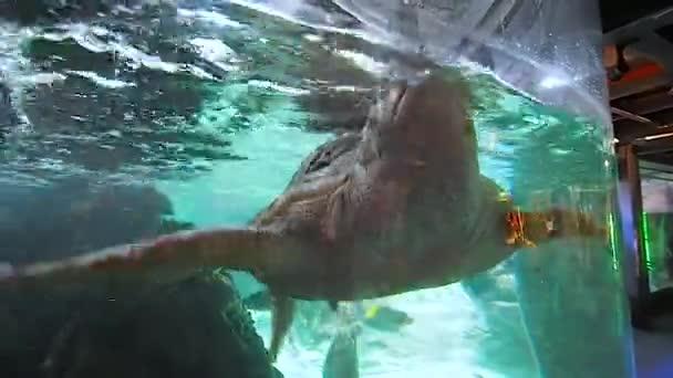 Augusztus 2018. Tengeri teknős kezelik, belsejében egy tank. Vagyunk, a város akváriuma, a turizmus nagyon fontos helyet benne. Augusztus 2018-Genova